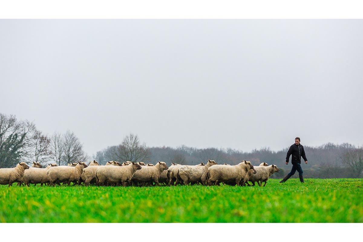 Berger menant ses moutons