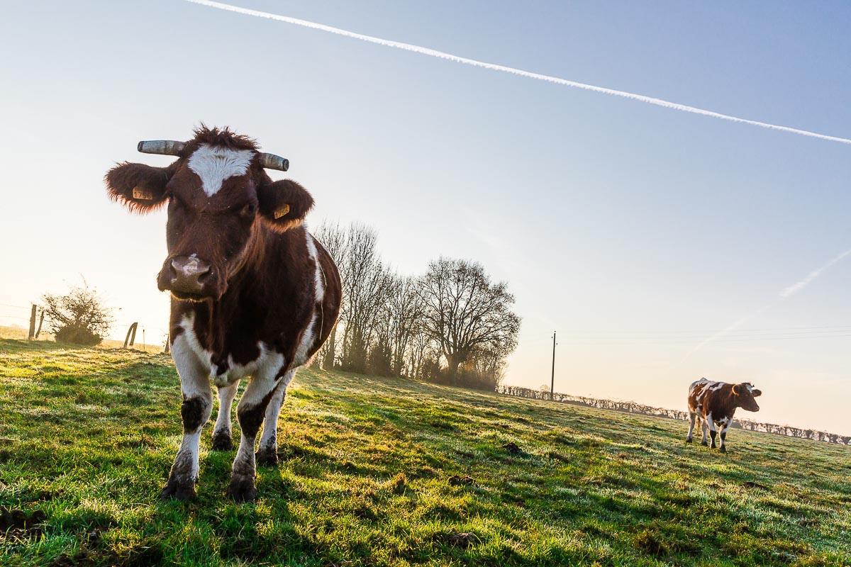 Vache Rouge des prés